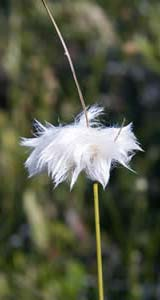 Tuft of cotton grass at Ponemah Bog (photo by Ben Kimball for the NH Natural Heritage Bureau)