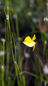 Utricularia cornuta (horned bladderwort) flower at Ponemah Bog (photo by Ben Kimball for the NH Natural Heritage Bureau)