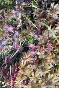 Drosera rotundifolia (round-leaved sundew) on the Sphagnum mat at Ponemah Bog (photo by Ben Kimball for the NH Natural Heritage Bureau)