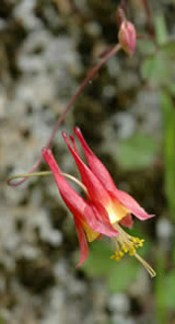 Wild columbine in flower near the trail in early May (photo by Ben Kimball for the NH Natural Heritage Bureau)