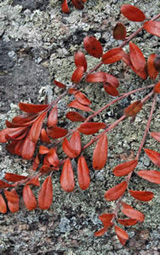 Leaves of Arctostaphylos uva-ursi on top of the ledges (photo by Ben Kimball for the NH Natural Heritage Bureau)