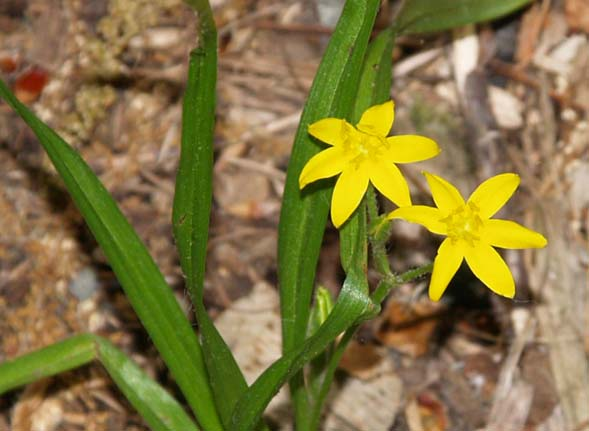 Yellow stargrass (photo by Webmaster)