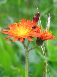 Orange hawkweed (photo by Mark Malnati)