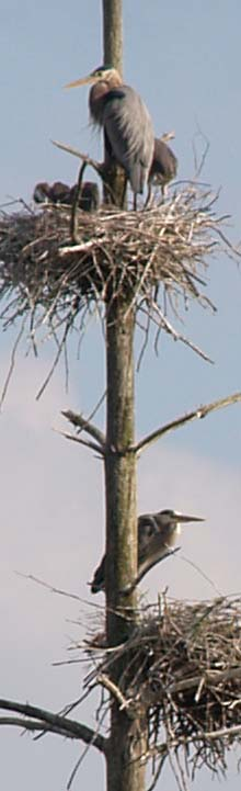 Chicks and adult great blue herons at their nests (photo by Webmaster)