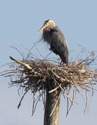 Great blue heron at its nest (photo by Webmaster)