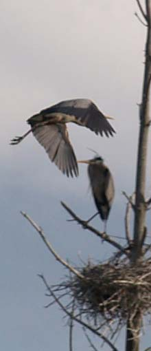 Great blue heron flying - note the two tones of gray on the upperside of its wings (photo by Webmaster)