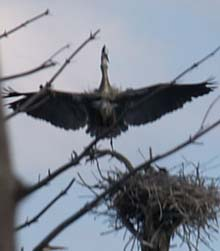 Great blue heron spreading its wings (photo by Webmaster)