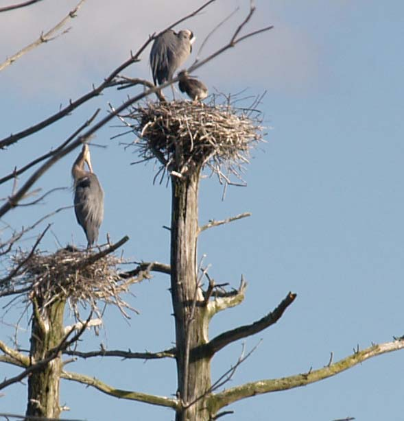 Two adult great blue herons and one chick (photo by Webmaster)