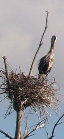 Immature great blue heron (photo by Webmaster)
