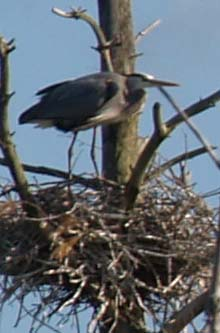 Great blue heron on its nest (photo by Webmaster)