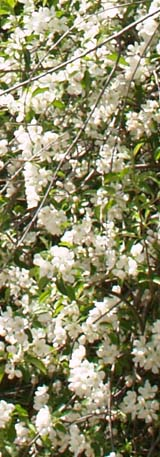 Flowering shrub along the gravel road (photo by Webmaster)