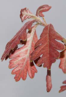 Tiny oak leaves that are barely an inch long (photo by Webmaster)