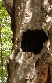 Hollow tree trunk (photo by Webmaster)