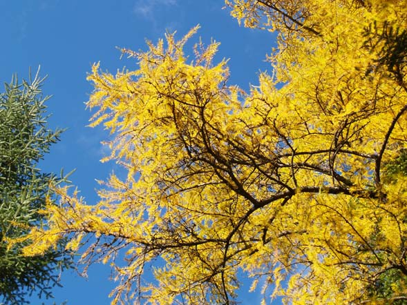 Golden-colored tamarack silhouetted against the blue sky (photo by Webmaster)