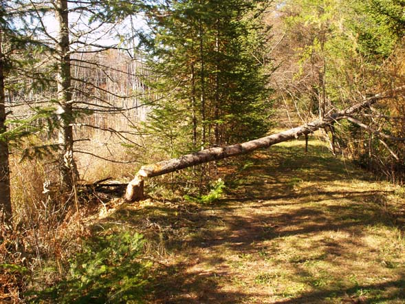 Tamarack tree felled by a beaver, on the Cross Vermont Trail (photo by Webmaster)