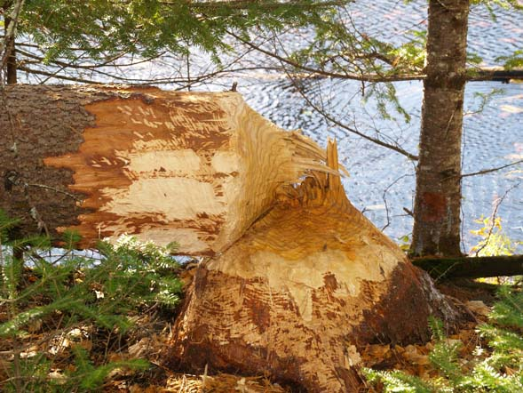 Tamarack tree felled by a beaver (photo by Webmaster)
