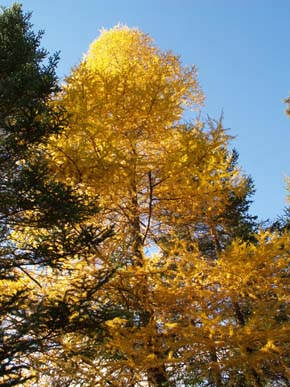 Tamarack tree bearing its fall colors (photo by Webmaster)