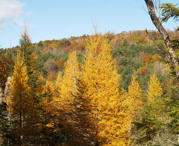 Tamaracks, with more colored foliage in the background (photo by Webmaster)