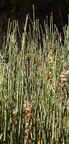A bunch of scouring brush horsetails (photo by Webmaster)