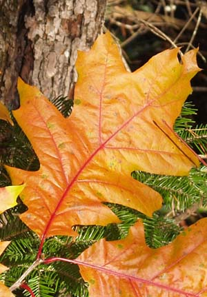Orange-colored oak leaves along Cross Vermont Trail (photo by Webmaster)