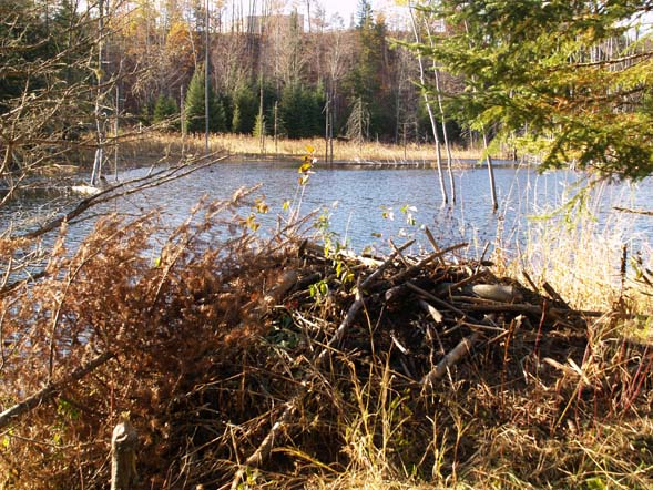 Beaver lodge on the shoreline (in the foreground) (photo by Webmaster)