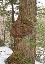 Funny tree along Manning Trail (photo by Webmaster)