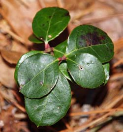 Wintergreen (photo by Webmaster)
