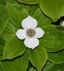 Bunchberry (Canada dogwood) along Ocean Path (photo by Webmaster)