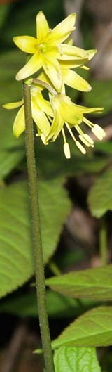 Yellow clintonia along Ocean Path (photo by Webmaster)