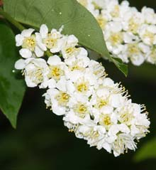 Chokecherry blooms along Ocean Path (photo by Webmaster)