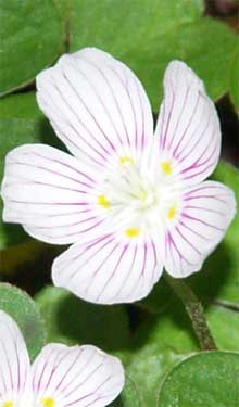 Common wood sorrel (photo by Webmaster)