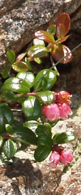 Mountain cranberry (photo by Webmaster)
