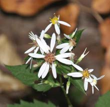 White wood aster (photo by Webmaster)