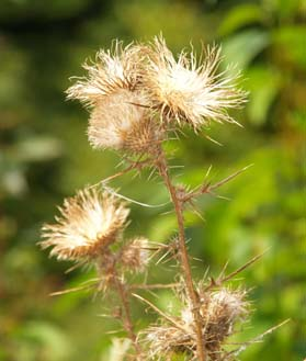 Dried thistle (photo by Webmaster)