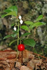 Gaultheria procumbens (wintergreen) in flower and fruit at Manchester Cedar Swamp (photo by Ben Kimball for the NH Natural Heritage Bureau)