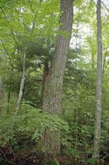 Nyssa sylvatica (black gum) is an uncommon tree that can be found at Manchester Cedar Swamp (photo by Ben Kimball for the NH Natural Heritage Bureau)
