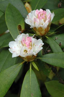 Rhododendron maximum (giant rhododendron) (photo by Ben Kimball for the NH Natural Heritage Bureau)