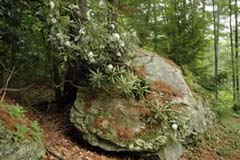 Rock with Rhododendron maximum (giant rhododendron) (photo by Ben Kimball for the NH Natural Heritage Bureau)