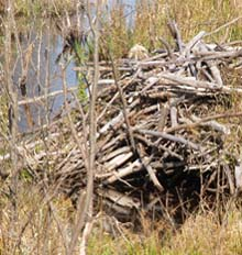 Beaver lodge on Stanley Slide Brook (photo by Webmaster)