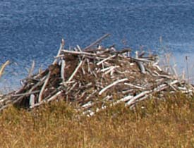 Beaver lodge at Cherry Pond (photo by Webmaster)