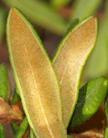 Undersides of Labrador tea leaves (photo by Webmaster)