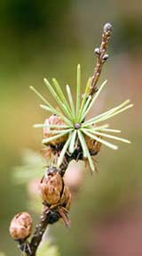 Larix laricina (eastern larch) needles at Ponemah Bog (photo by Ben Kimball for the NH Natural Heritage Bureau)