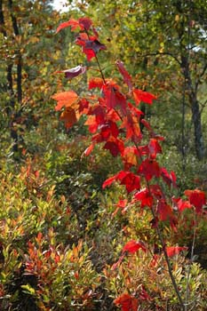 Acer rubrum (red maple) at Ponemah Bog (photo by Ben Kimball for the NH Natural Heritage Bureau)