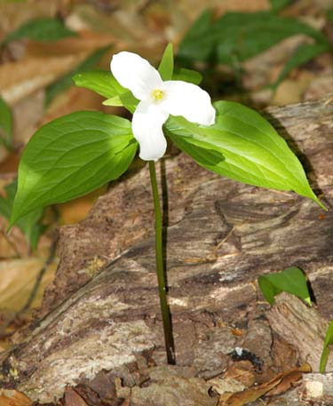 Large-flowered trillium (photo by Webmaster)