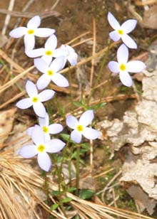 Bluets (photo by Webmaster)