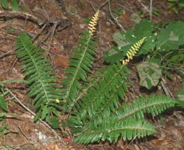 Christmas fern (photo by Webmaster)