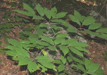 Low-growing American Chestnut tree (photo by Webmaster)